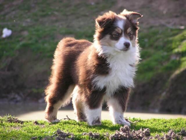 Mini Australian Shepherd